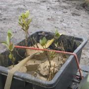 Transplanting mangrove plugs