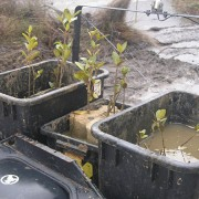 Transplanting mangroves