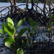 river mangroves